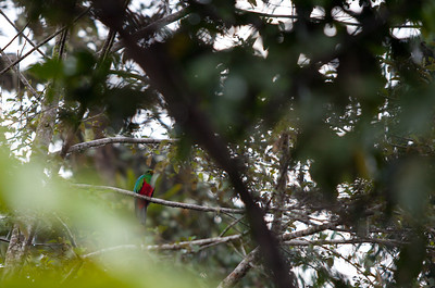 One of the most colorful birds seen during the trip was a golden-headed Quetzal trying to hide in the trees.