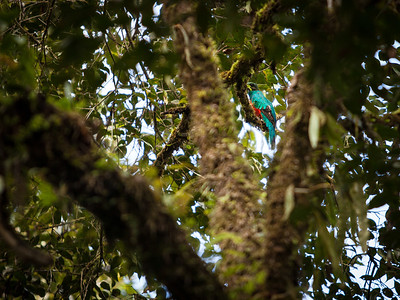 Another golden-headed Quetzal.