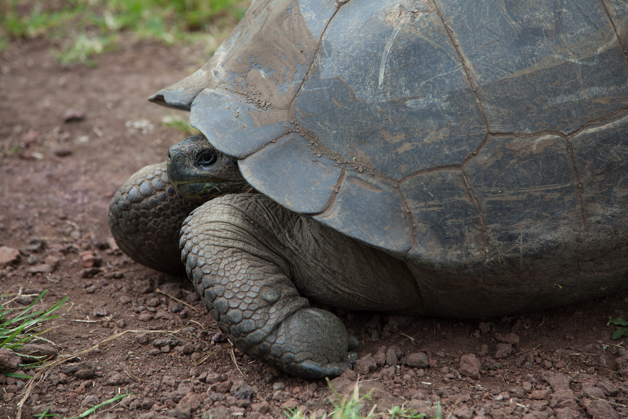 The first giant tortoise!
