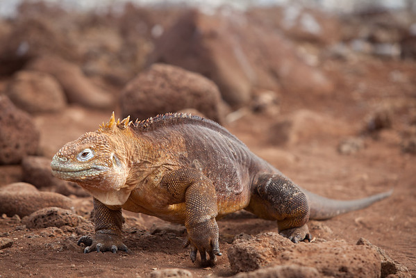 A land iguana - eerily similar to childhood dinosaur images.
