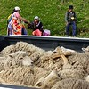 Otavalo animal market - sheep ready for transit