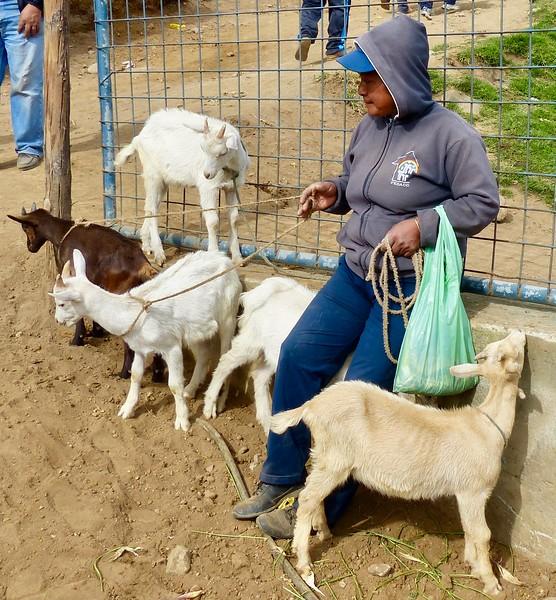 Otavalo animal market - goats for sale