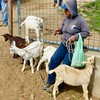 Otavalo animal market - goats for sale