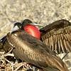 Frigate birds mating