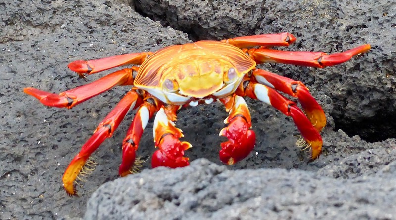 Sally lightfoot (Galapagos) crab