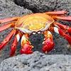 Sally lightfoot (Galapagos) crab