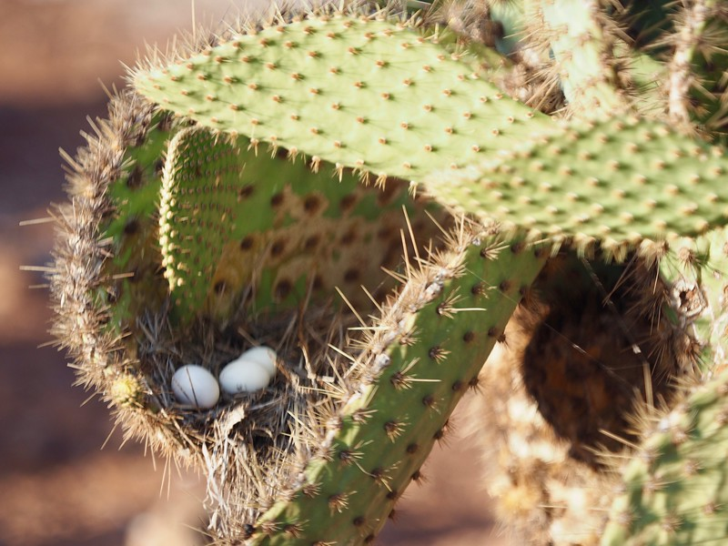 Galapagos dove eggs