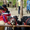 Otavalo animal market - cows for sale