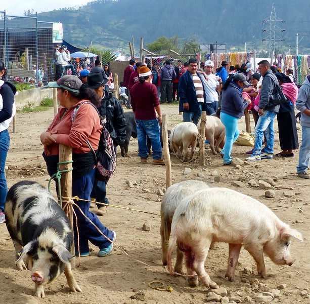Otavalo animal market - pigs for sale