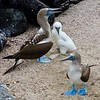 Blue footed boobies and chick