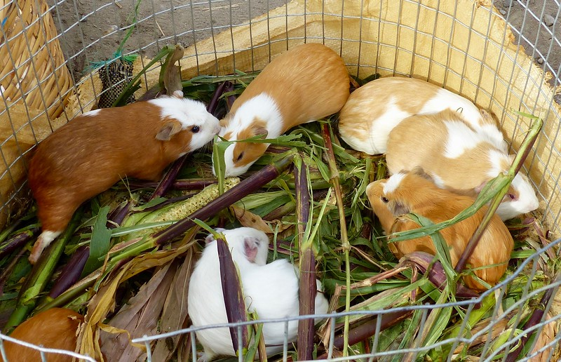 Otavalo animal market - guinea pigs for sale, an Ecuadorean delicacy