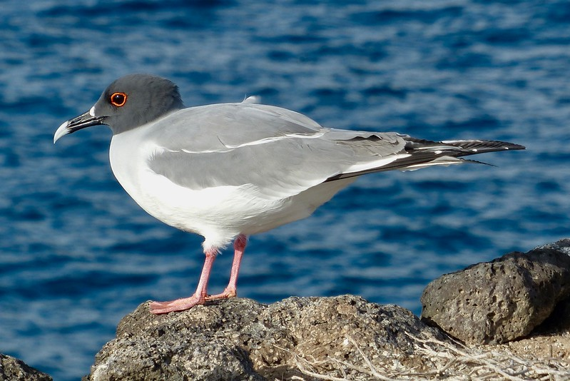 Galapagos seagull