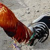Otavalo animal market - rooster for sale