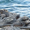 Marine iguanas piled up to keep warm