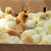 Otavalo animal market - baby chicks for sale