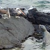 Sea lion and pelicans