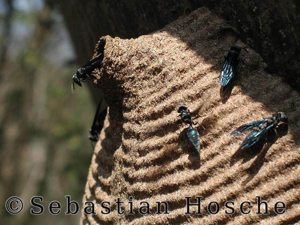 2006-11-09_11772 wasp`s nest Wespennest un nido de avispa