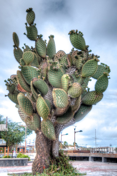 • Location - San Cristobal<br /> • Giant Prickly Pear Cactus