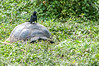 A local bird going for a ride on the top of the Giant Tortoise