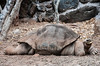 That is one fat Giant Tortoise