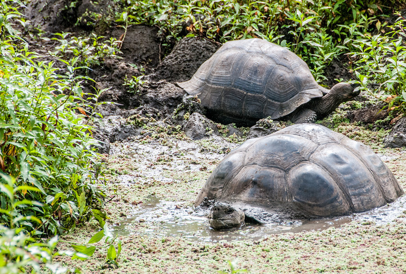 A couple of Giant Tortoises going for a swim in a local pond