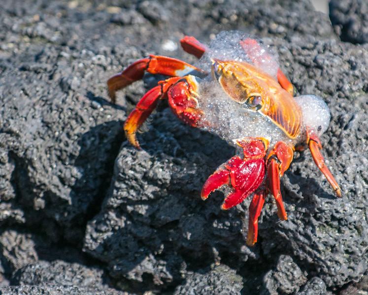Sally Lightfoot Crab molting