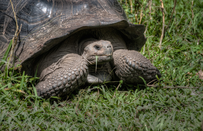 Giant Tortoise in the process of eating some grass