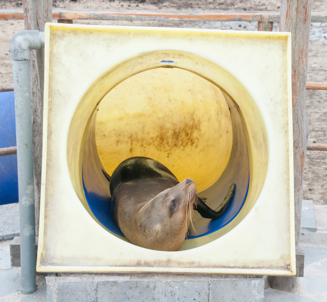 Sea Lion laying inside a children's play tube slide