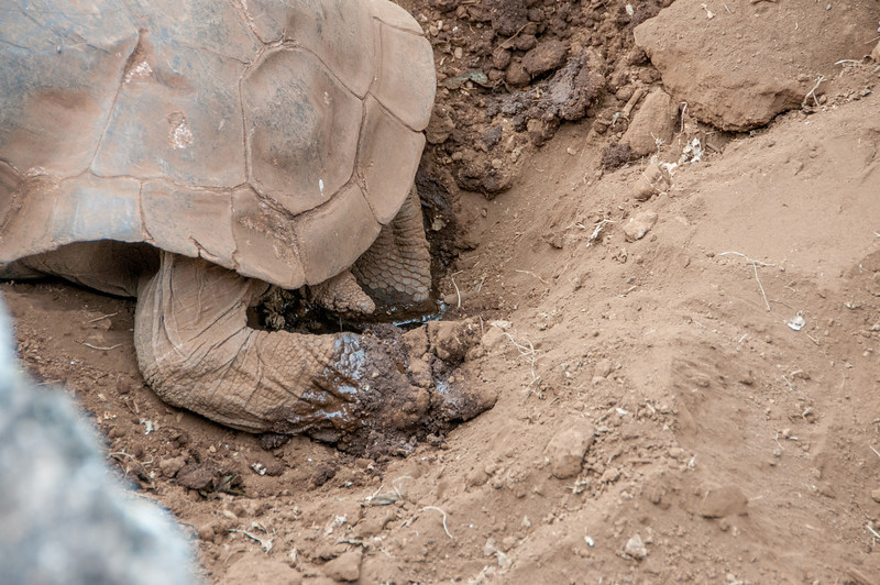 This Giant Tortoise is in the process of digging a hole so she lay her eggs.