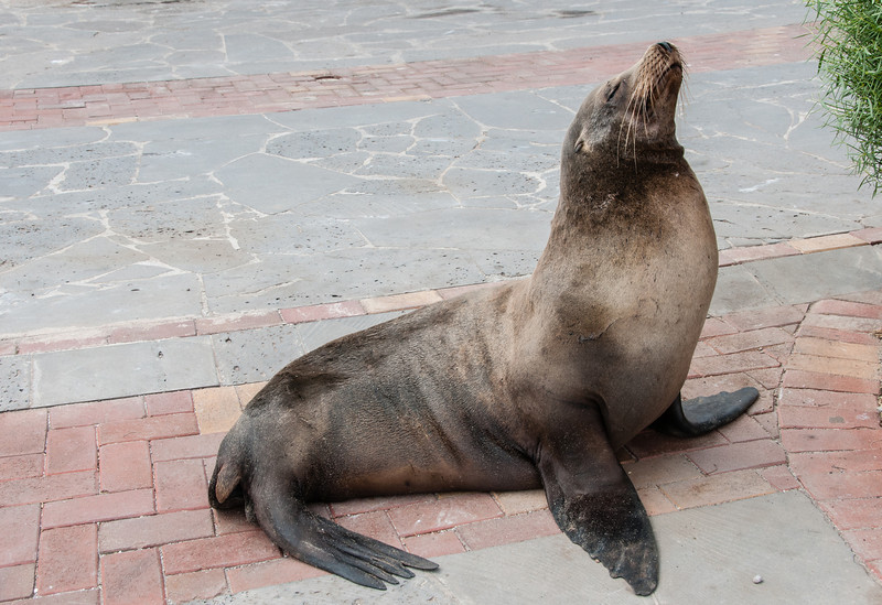 A Sea Lion in town on the walkway