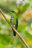 Purple-bibbed Whitetip (Female)