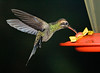 Night shot of a rufous-tailed hummingbird