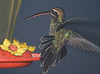 Rufous-tailed hummingbird at dusk