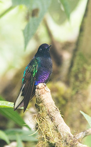 Velvet Purple Coronet- The colors of the hummingbirds change with the angle of the reflecting light.