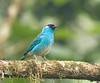 Golden-naped Tanager
