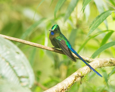 Long tailed Sylph (Male)