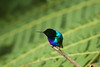 Velvet Purple Coronet - bathed in sunlight which transformed the bird into a vision of shimmering turquoise and purple.