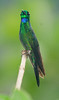 Green Crowned Brilliant (Male)