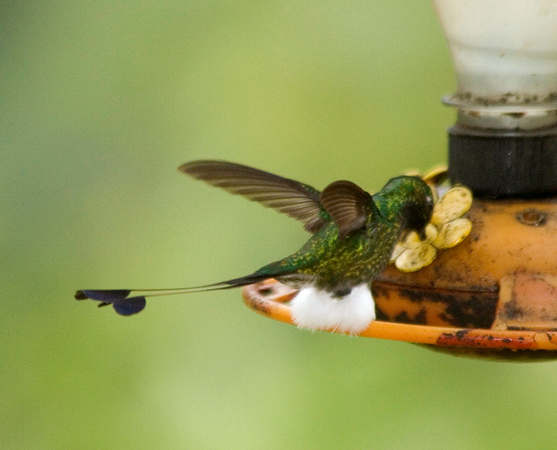 Feeding Booted Racket-tail