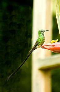 Black-Tailed Trainbearer (Male)