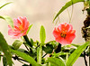 Beautiful flowers of San Jorge