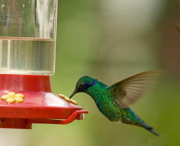 Sparkling violetear feeding