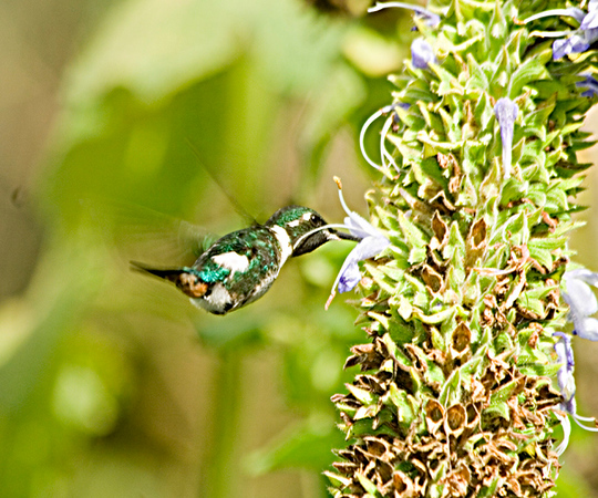 White-bellied Woodstar- tiny hummer whose approach is announced by a buzzing sound. Feeds while hanging in the air by flapping of wings at lightening speed.