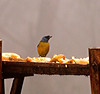 Blue and Yellow Tanager on a feeder