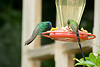 Hummingbirds at the feeder