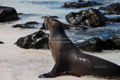 Sea lion on Mosquera Island, Galapagos