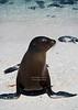 Sea Lion on Mosquera Island
