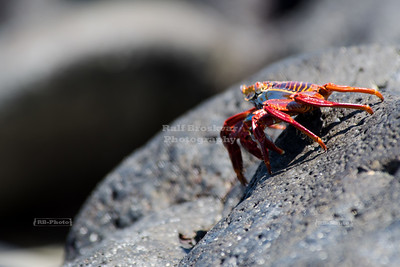 Sally Lightfoot Crab on a black lava rock