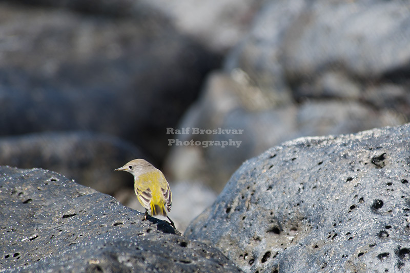 Yellow Warbler on Galapagos Islands