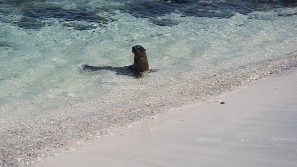 Sea Lion at Mosquera Island, Galapagos